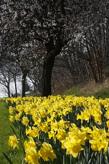 Daffs on The Ring Road_TR