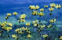 YellowFlowers_TR